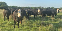 33 Angus & BWF Cows w/ 24+ Calves... N. Central OK