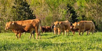 10 Reg. Akaushi Rep. Heifers... Soutwest MO
