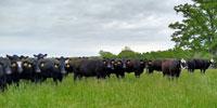 240 Angus & BWF Cows... Southwest MO