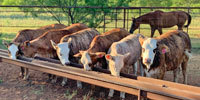 5 F1 Braford/Tigerstripe Rep. Heifers... Central TX