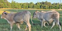 5 Brahman Rep. Heifers... East TX