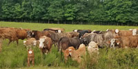 40 Braford/Tigerstripe Cows w/ 33+ Calves... Central AR