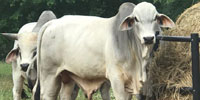 5 Brahman Bulls... East TX