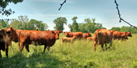 25 Red Angus & RWF Cows... Southwest MO