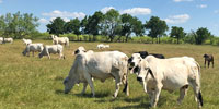 32 Reg. Brahman Cows w/ 10+ Calves... North TX