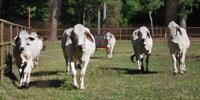 8 Purebred Brahman Bred Heifers... East TX