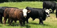 6 Brangus Bulls... Central OK