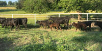 7 Angus Cross Pairs... S. Central OK