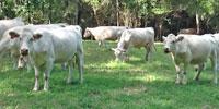 18 Reg. Charolais Cows w/ 3+ Calves... FL Panhandle